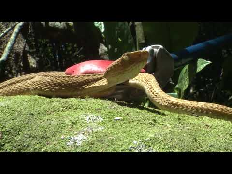 The Venomous Pit Vipers of Brazil's Deadly Snake Island