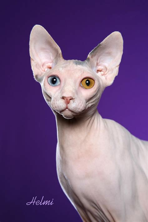 SPHYNX PICTURES, PICS, IMAGES AND PHOTOS FOR INSPIRATION