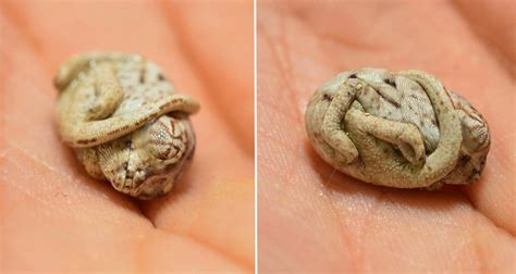 This Adorable Baby Chameleon Doesn't Realize He Has Been Born