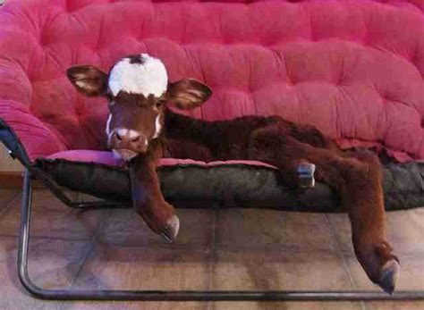 Miniature Cow Is Best Friends With All The Dogs - The Dodo