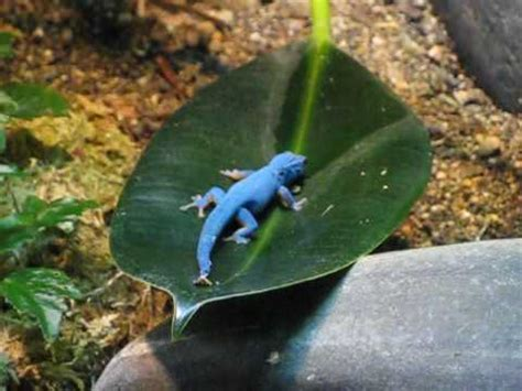 Blue Lizard at California Academy of Sciences - YouTube