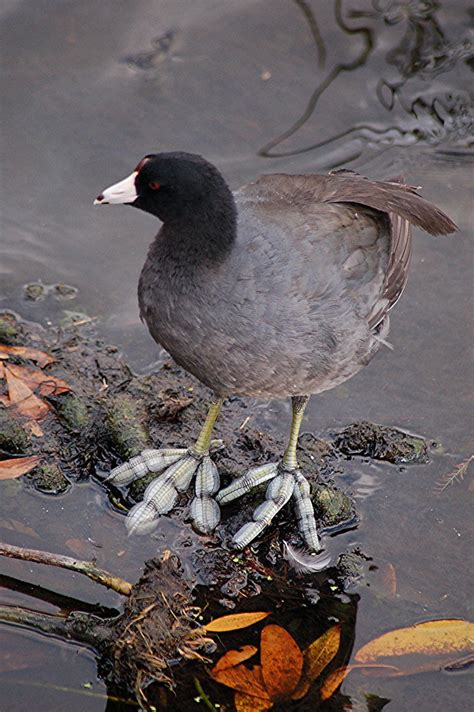 The American Coot has funny feet! | Explore Feb 6, 2001