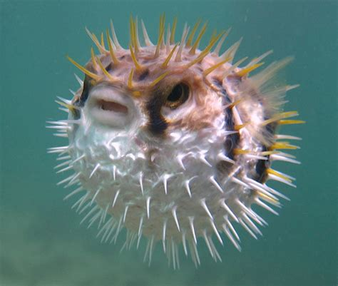 #924 Pufferfish is an amazing little fish because