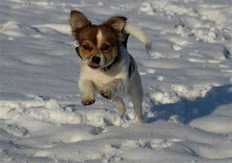 Chippy (Chihuahua, Jack Russell Terrier) – MeinMischling