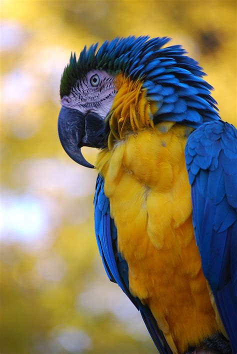 1000+ images about Blue-and-Yellow Macaw on Pinterest