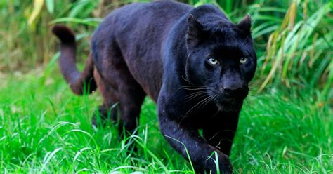 A Black Panther dies on a Pahang Road - Clean Malaysia