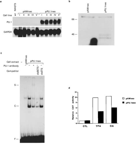 Inhibition of MMP-1 promoter stimulation by OA and TPA in