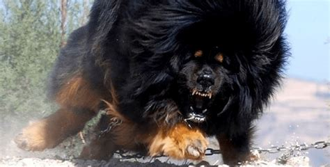 9 Fascinating Facts You Didn't Know About Tibetan Mastiffs