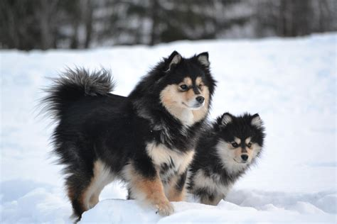 Everything about your Finnish Lapphund - LUV My dogs