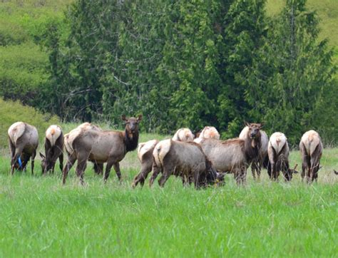 Roosevelt elk – Sequim Daily Photo
